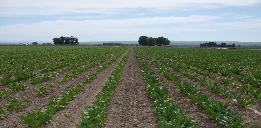 A field of sugar beets