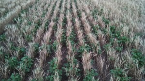 Winter wheat and dry beans