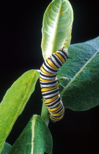 Monarch butterfly caterpillar feeds on a milkweed plant
