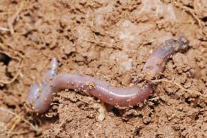 An earthworm. Taken in Swifts Creek, Victoria in June 2007. Source: Fir0002/Flagstaffotos