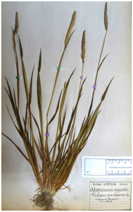 A. myosuroides herbarium specimen. (From Delye et al. 2013)