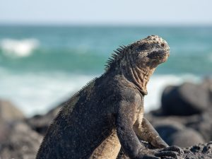 marine iguana with eyes closed