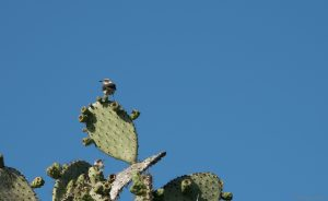 Mocking birds on a cactus tree