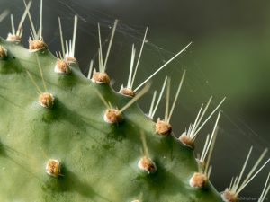 close-up of a prickly pear cactus tree