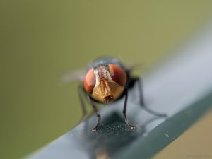 Close-up of an unidentified fly, possibly Philornis downsi.