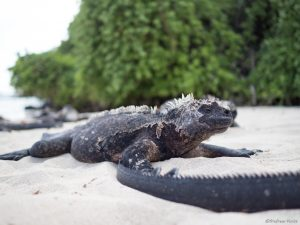 Marine iguana with mangrove trees in the background