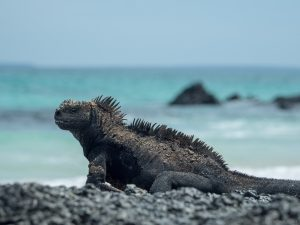 a marine iguana at the beach