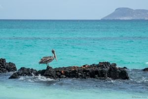 pelican standing on a rock with many crabs