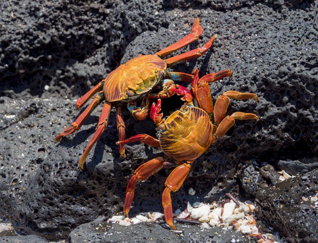 Sally Lightfoot Crabs engaged