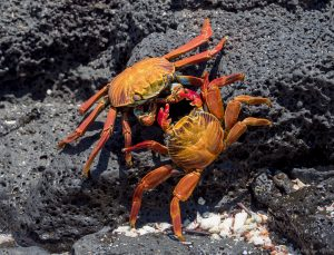two sally lightfoot crabs engaged with their claws