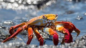 Sally Lightfoot Crab on lava rock by the beach
