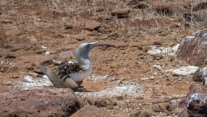 blue-footed booby nesting
