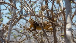 A land iguana in a tree reaching for some green leaves to eat