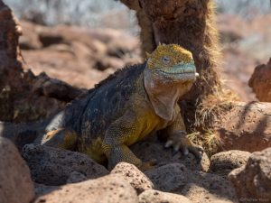land iguana ext to a cactus tree