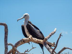 Immature frigate bird in a tree