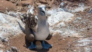 Blue footed booby with 2 eggs underneath