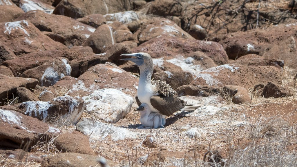 Blue footed booby with chick