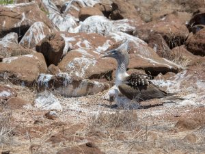 A blue footed booby with recently hatched chick