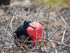 Male frigate bird with neck inflated
