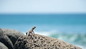 lava lizard looking at the ocean