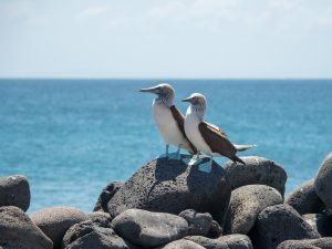 Male and female blue-footed boobies