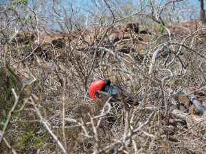 A male frigate bird showing his red neck to attract a mate