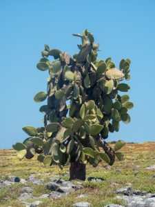 A prickly pear cactus tree on South Plaza Island