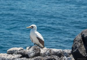 Nazca Booby on South Plaza Island