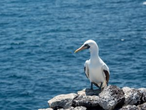 A Nazca Booby perched on a rock