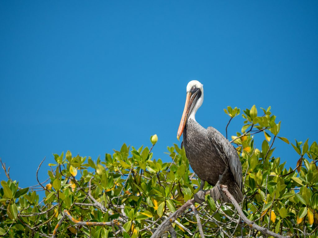 Pelican perched on a mangrove tree