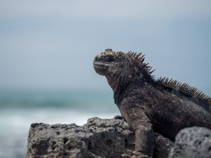 marine iguana on lava rocks at the beach