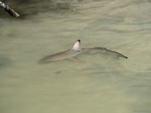 Black tip reef shark in shallow water