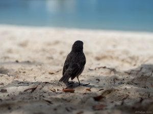 A small black bird looking from the beach to the water